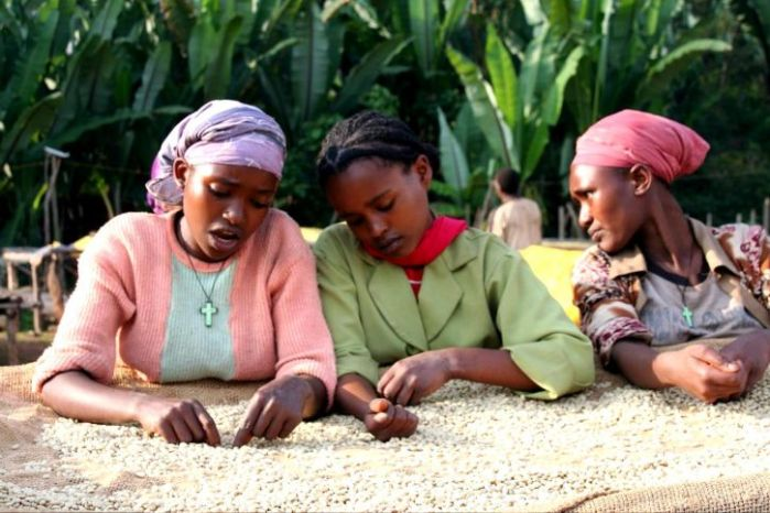 women-coffee-farmers-in-ethiopia-sort-coffee-beans-to-produce-higher-quality-specialty-725x483